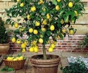 Come coltivare una pianta di limone coltivazione biologica for Pianta di limoni in vaso