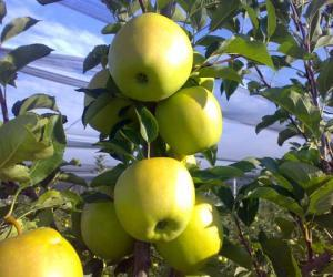Mele Golden Delicious